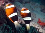 Amphiprion_chrysopterus2ikona_big