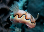 Chromodoris_coi2s_big